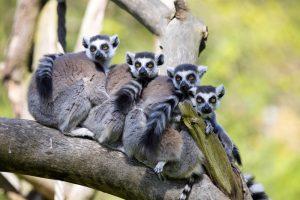 TheMerkle_Lemur Facial Recognition