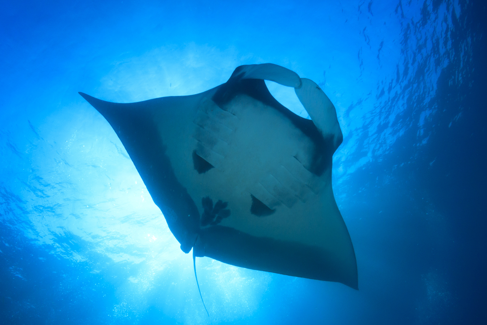 TheMerkle Robotic manta Ray