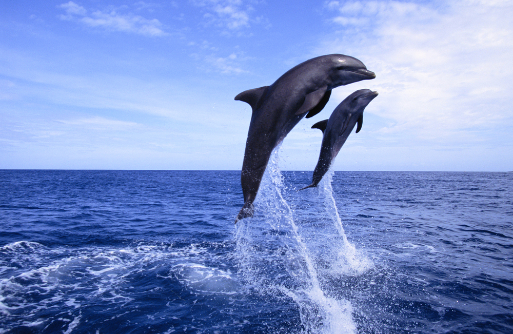 speaking dolphin language