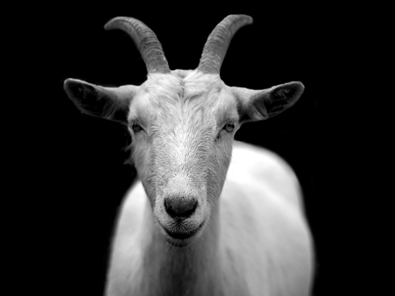 TheMerkle Goat Emotions