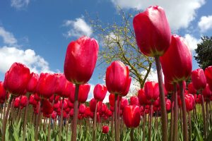 TheMerkle Tulip mania ICo